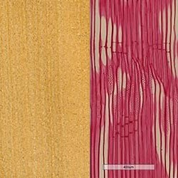 Agathis_wood_grain__long_section_250